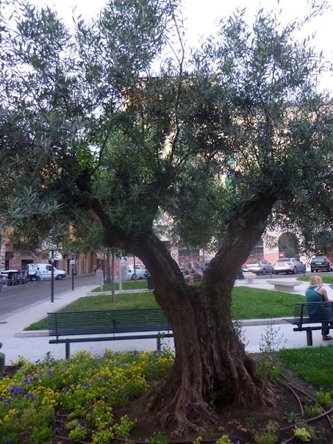 Werona - drzewo oliwne