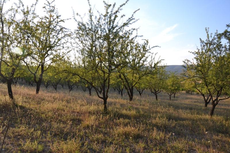 drzewa migdałowe