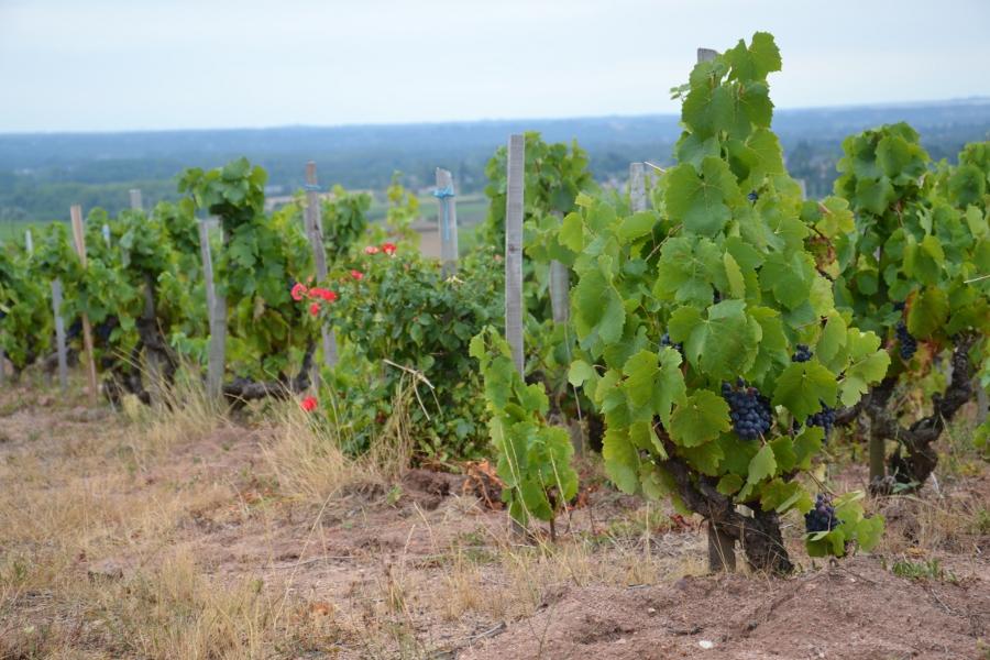 Róże i winorośle to dobrana para. Róże przyciągają szkodniki chroniąc winorośle. A jak przy tym ładnie w tej parze wyglądają