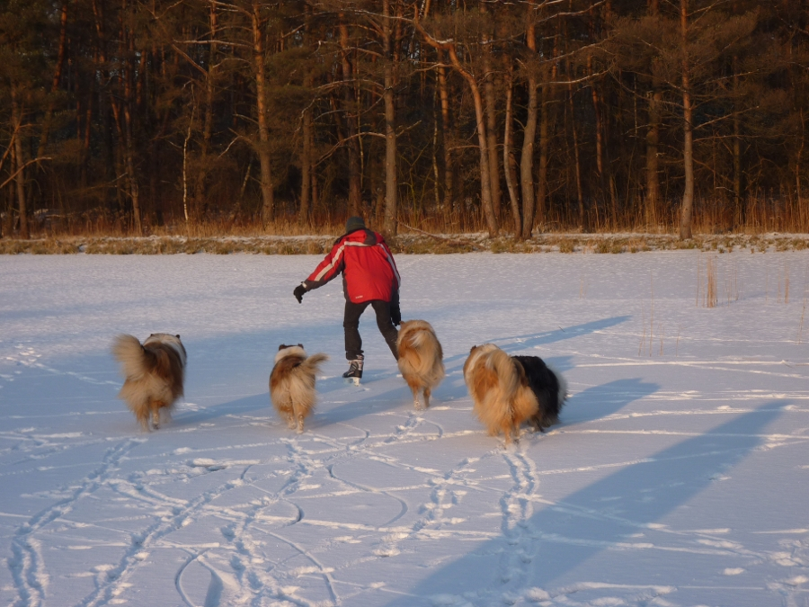 jazda na łyżwach z psami